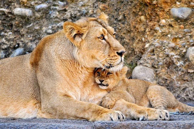lionesscub.jpg
