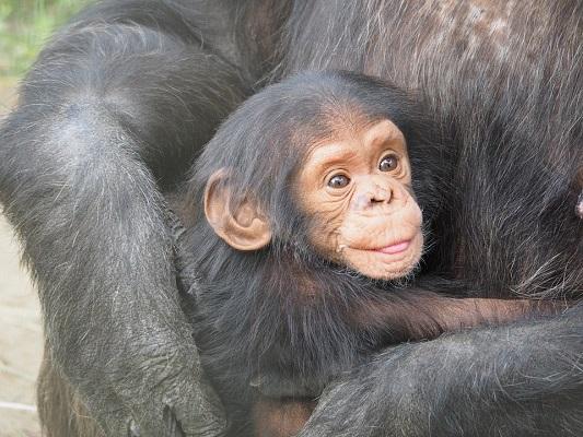 chimpanzee-830535_960_720.jpg