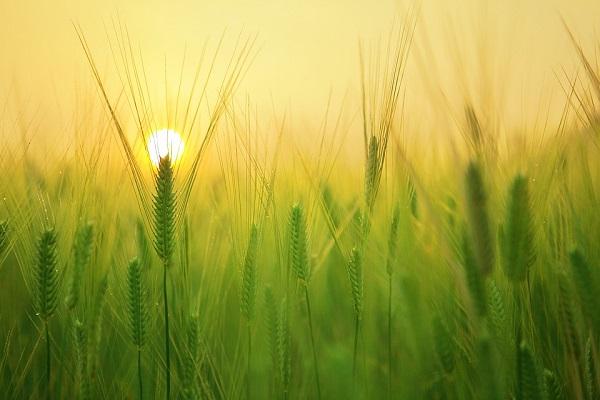 barley-field-1684052_960_720.jpg
