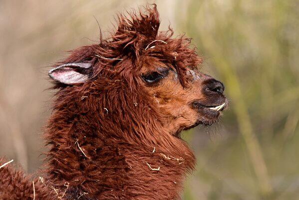 alpaca-4865864_960_720.jpg
